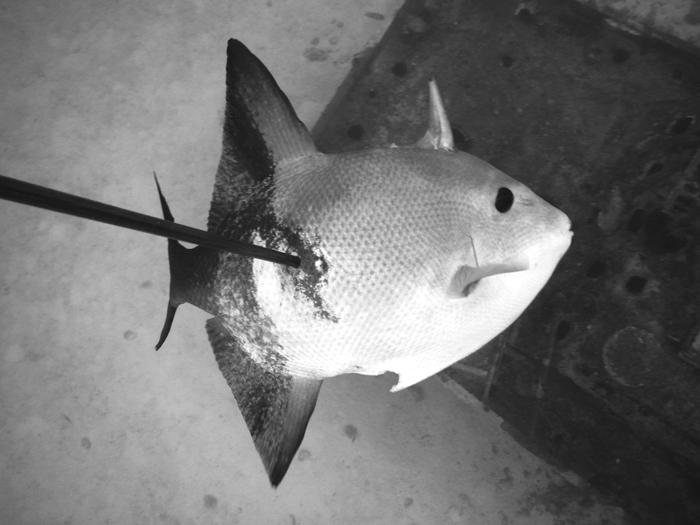 Ocean-Triggerfish-is-Delicious
