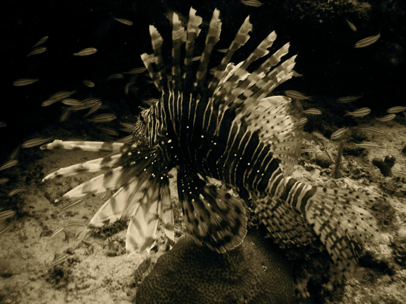 Lion Fish Hunting Cozumel Mexico