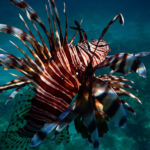 Lion fish Playa del Carmen