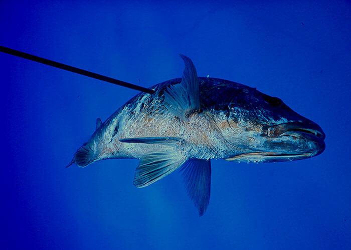 Isla Mujeres Spearfishing Mexico